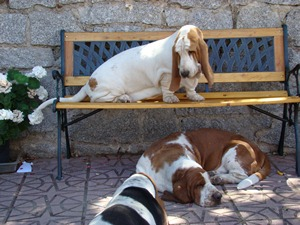 Basset Hound Morning Dew Sweepers